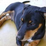 509316 fotos de caes da raca dachshund 22 150x150 Fotos de cães da raça Dachshund