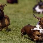 509316 fotos de caes da raca dachshund 24 150x150 Fotos de cães da raça Dachshund