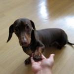 509316 fotos de caes da raca dachshund 25 150x150 Fotos de cães da raça Dachshund