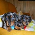 509316 fotos de caes da raca dachshund 26 150x150 Fotos de cães da raça Dachshund
