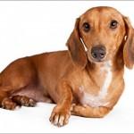 509316 fotos de caes da raca dachshund 27 150x150 Fotos de cães da raça Dachshund