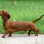 509316 fotos de caes da raca dachshund 28 150x150 Fotos de cães da raça Dachshund