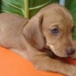 509316 fotos de caes da raca dachshund 3 150x150 Fotos de cães da raça Dachshund