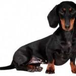 509316 fotos de caes da raca dachshund 35 150x150 Fotos de cães da raça Dachshund