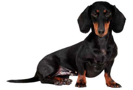 509316 fotos de caes da raca dachshund 35 Fotos de cães da raça Dachshund