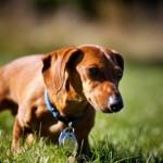 509316 fotos de caes da raca dachshund 36 150x150 Fotos de cães da raça Dachshund