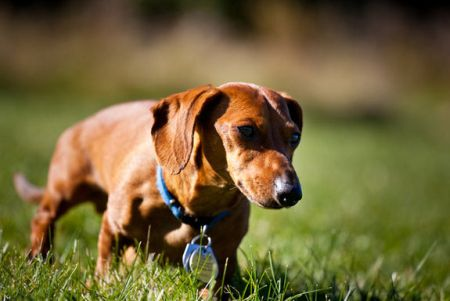 509316 fotos de caes da raca dachshund 36 Fotos de cães da raça Dachshund