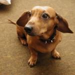 509316 fotos de caes da raca dachshund 4 150x150 Fotos de cães da raça Dachshund