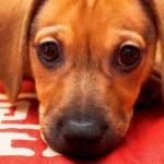 509316 fotos de caes da raca dachshund 9 150x150 Fotos de cães da raça Dachshund
