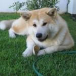 509359 fotos de caes da raca akita 15 150x150 Fotos de cães da raça Akita