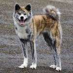 509359 fotos de caes da raca akita 18 150x150 Fotos de cães da raça Akita