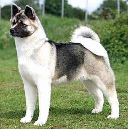 509359 fotos de caes da raca akita 2 Fotos de cães da raça Akita