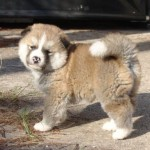 509359 fotos de caes da raca akita 20 150x150 Fotos de cães da raça Akita