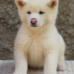 509359 fotos de caes da raca akita 26 150x150 Fotos de cães da raça Akita