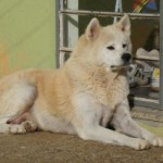 509359 fotos de caes da raca akita 27 150x150 Fotos de cães da raça Akita