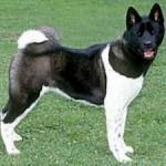 509359 fotos de caes da raca akita 28 150x150 Fotos de cães da raça Akita