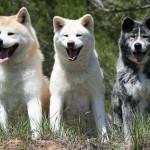 509359 fotos de caes da raca akita 30 150x150 Fotos de cães da raça Akita