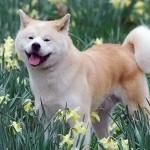 509359 fotos de caes da raca akita 33 150x150 Fotos de cães da raça Akita