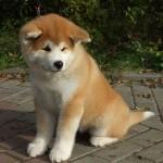 509359 fotos de caes da raca akita 34 150x150 Fotos de cães da raça Akita