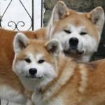 509359 fotos de caes da raca akita 35 150x150 Fotos de cães da raça Akita