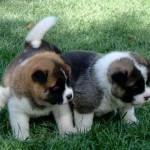 509359 fotos de caes da raca akita 4 150x150 Fotos de cães da raça Akita