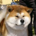 509359 fotos de caes da raca akita 8 150x150 Fotos de cães da raça Akita