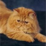 509976 fotos de gato persa 1 150x150 Fotos de gatos persa