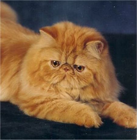 509976 fotos de gato persa 1 Fotos de gatos persa