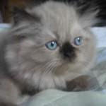509976 fotos de gato persa 10 150x150 Fotos de gatos persa