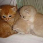 509976 fotos de gato persa 14 150x150 Fotos de gatos persa