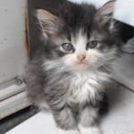 509976 fotos de gato persa 15 150x150 Fotos de gatos persa
