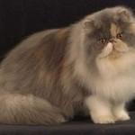 509976 fotos de gato persa 150x150 Fotos de gatos persa
