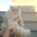 509976 fotos de gato persa 19 150x150 Fotos de gatos persa