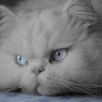509976 fotos de gato persa 2 150x150 Fotos de gatos persa
