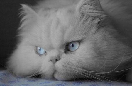 509976 fotos de gato persa 2 Fotos de gatos persa