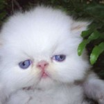 509976 fotos de gato persa 20 150x150 Fotos de gatos persa