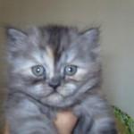509976 fotos de gato persa 21 150x150 Fotos de gatos persa