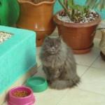 509976 fotos de gato persa 22 150x150 Fotos de gatos persa