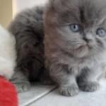 509976 fotos de gato persa 23 150x150 Fotos de gatos persa