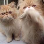 509976 fotos de gato persa 26 150x150 Fotos de gatos persa