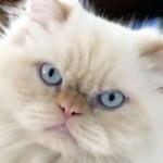 509976 fotos de gato persa 30 150x150 Fotos de gatos persa