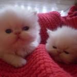 509976 fotos de gato persa 31 150x150 Fotos de gatos persa