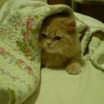 509976 fotos de gato persa 33 150x150 Fotos de gatos persa