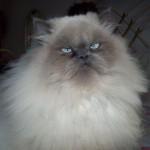 509976 fotos de gato persa 34 150x150 Fotos de gatos persa
