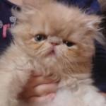 509976 fotos de gato persa 5 150x150 Fotos de gatos persa