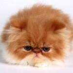 509976 fotos de gato persa 7 150x150 Fotos de gatos persa