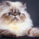 509976 fotos de gato persa 8 150x150 Fotos de gatos persa