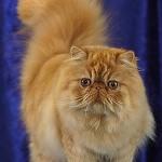 509976 fotos de gato persa 9 150x150 Fotos de gatos persa