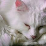 510068 fotos de gatos angora 1 150x150 Fotos de gatos angorá