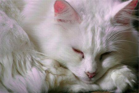 510068 fotos de gatos angora 1 Fotos de gatos angorá